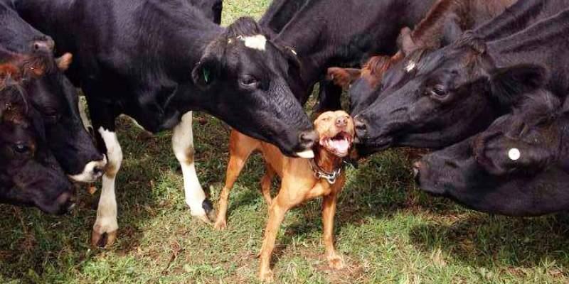 Фотографии: коровы это большие собаки