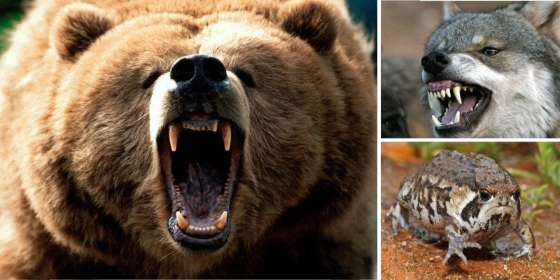 Эмоции животных: оскал и раздражение
