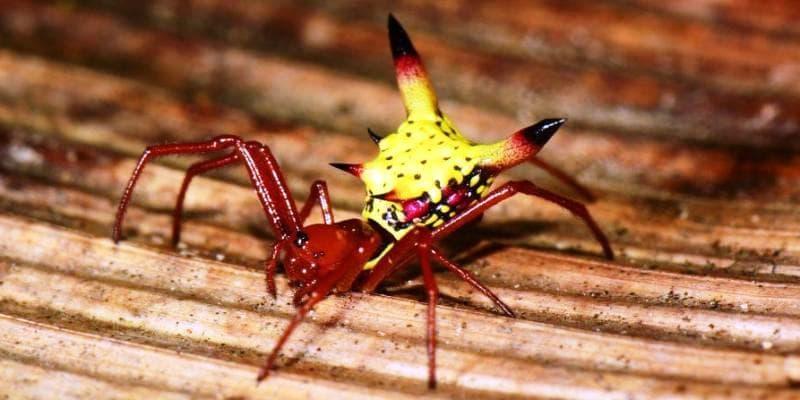 Micrathena Sagittata – красивый паук, напоминающий Пикачу