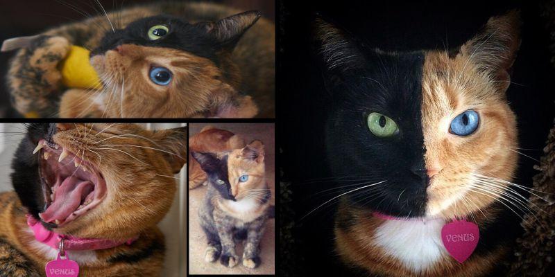"""Невероятный котенок-""""химера"""" из Аргентины"""