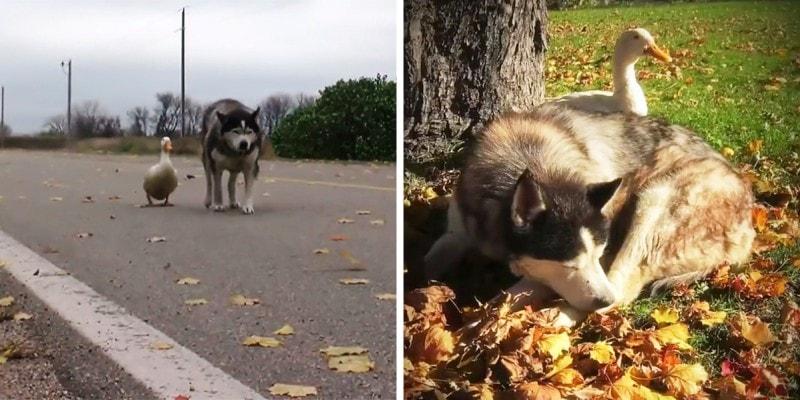 Дружба утки и собаки